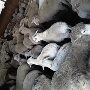sheep for sale in Farming in South Africa | Junk Mail