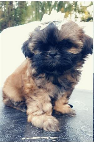 Lovely Shih - Tzu Puppies available and ready to go!