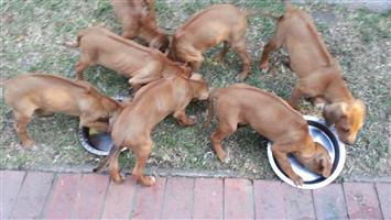 Purebred ridgeback puppies