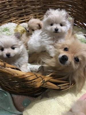 2 toypom puppies for sale