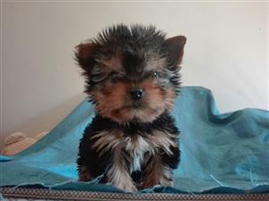 Yorkies (Yorkshire terriers)