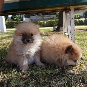 Toypomeranien smaller type puppies