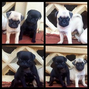 2 female pug puppies