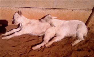 Milking goat rams