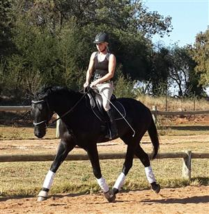 Warmblood mare registered
