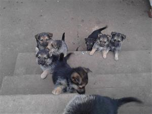 Thoroughbred German shepherd puppies