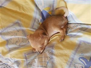 "Pure breed Chihuahua puppy""s 6 weeks old for sale , dewormed and vaccinated 4x Female & 1x Male"