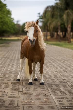 Small Miniature horse broodmare or pet. registered With SA studbook.