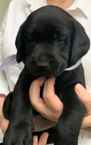 Labrador puppies (pure bred)