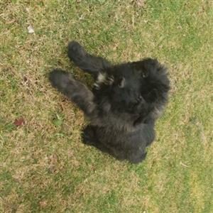 Giant Bouvier puppies