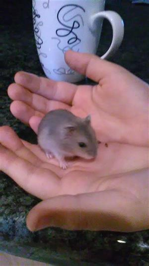 Dwarf hamsters for sale