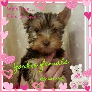 Pocket Yorkie female
