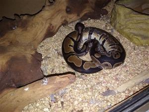 Male ball python with cage