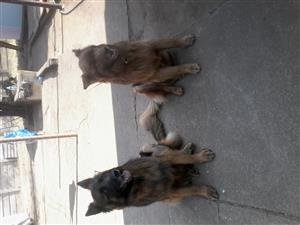 Opgeleide duitse  herdershonde