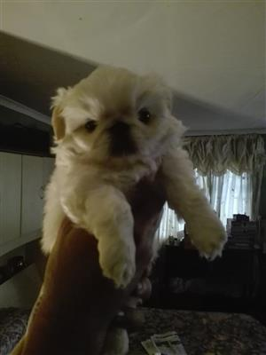 White and cream Pekinese pups