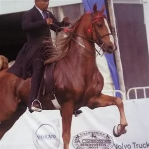 saddlebred stallion