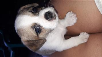 Jackengese puppys ( cross between Jack Russel and Pekingese)
