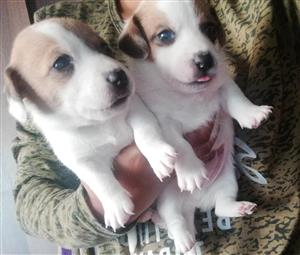 jack Russell pups -pure bred