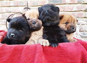 Pure Bred Chow Puppies