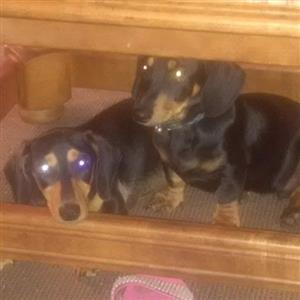 purebreed dachounds pups for sale
