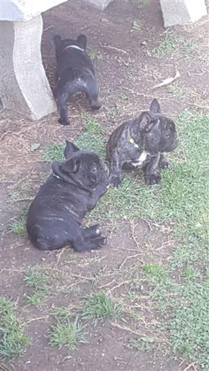Gorgeous KUSA Reg French Bulldog puppies available and ready for their new homes
