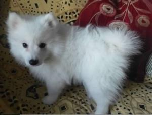 2 Lovely and adorable 15weeks old Female Japanese spitz for sale