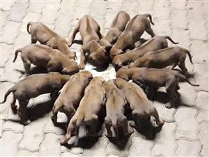 Rhodesian Ridgeback puppy's