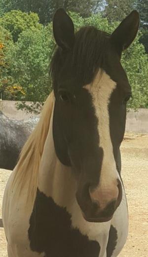 Pinto Warmblood Stallion