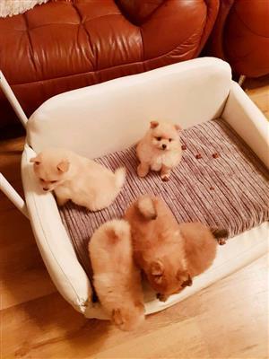 KUSA registered Miniature Toy-Pom pups (Pomeranian)