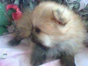 Pomeranian Female