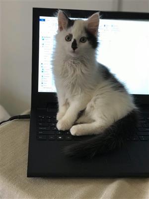 Persian x Maine coon Kitten