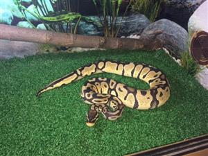 Ball Python - Beautiful Female for sale with cage