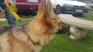 Lovely German Shepherd Male