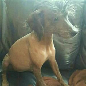 Chinese crested hairless female