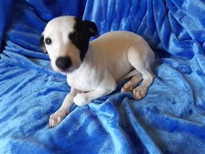 Italian Greyhound Female