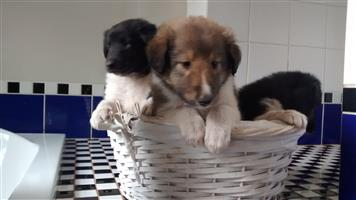 Cute Rough Collie Puppies