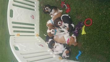 Tri-Colored Purebred Beagle Puppies