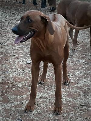Rhodesian Ridgeback Pups for sal