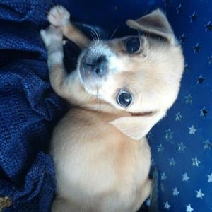 Chihuahua gekruis pup