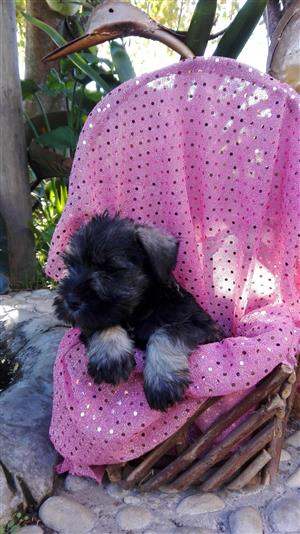 Miniature Schnauzer pups from registered parents