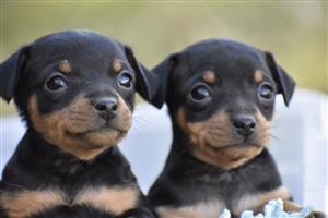 Miniature Dobermann Puppies R1500