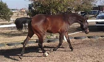 Stunning Arabian Gelding Horse For Sale