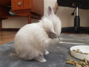 Cute Dwarf Bunny for sale