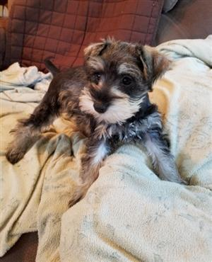 Miniature Schnauzer puppies, males and females