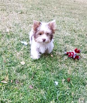 Adorable Biro Yorkie puppy