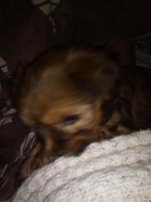 6 week old chocolate yorki for sale