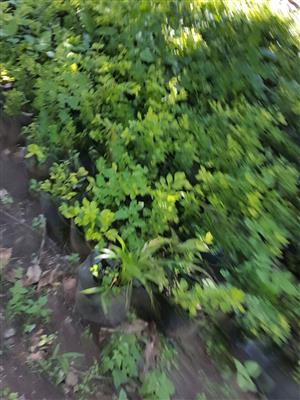 Sheena Gold Plants For Sale at cost