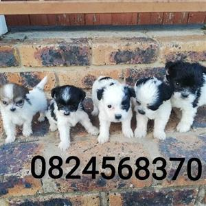 Teacup yorkshire terrier cross maltese puppies