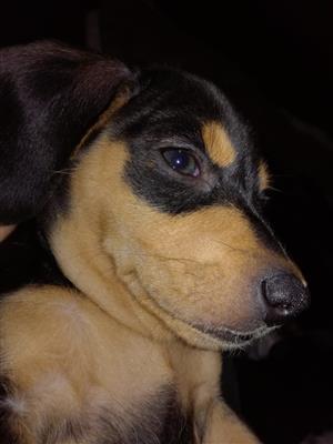 Adopt a Duchund puppy