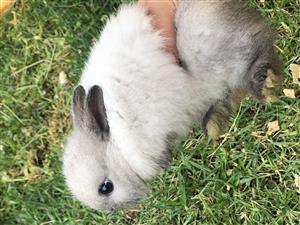 Netherland Dwaf rabbit babies